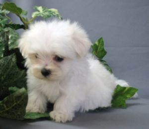 Maltesepuppies Care on Quality Yorkie  Maltese  And Chihuahua Puppies   Most Beautiful Pets