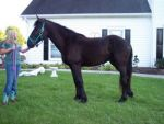 Other 5 year-old Gentile Friesian Horse