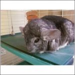 Other chinchilla
