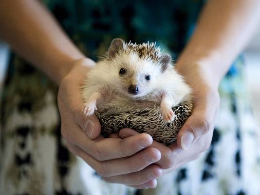 hedgehog alert prickly pets can carry salmonella